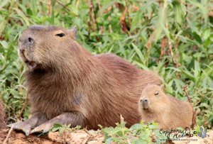 Wild male capybara with extensive damage to the lips