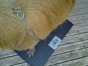 Capybara on scale