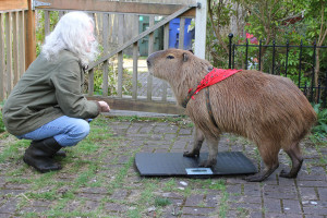 Stacy Winnick weighing her capybara, Dobby